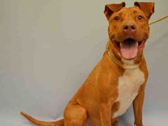KILLED BY ACC - 07/20/15 - TO BE DESTROYED 07/20/15 - FRENCHY - #A1042903 - Urgent Manhattan - FEMALE RED AND WHITE AM PIT BULL TER MIX, 2 Yrs - STRAY ONHOLDHERE HOLD FOR ID - Intake Date 07/06/15