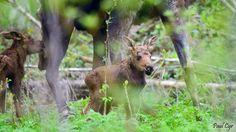 Baby moose   Paul Cyr Photography