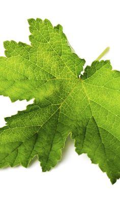 Louhisaaren juoma | Meillä kotona Plant Leaves, Plants, Leaves, Planters, Plant, Planting, Planets