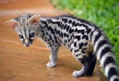 The common genet (Genetta genetta)