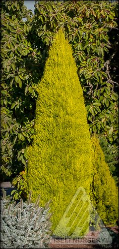 Cupressus macrocarpa 'Wilma' will grow tall with a relatively narrow footprint in the garden. Its year-round golden color makes a bold statement  - even in the dead of winter.