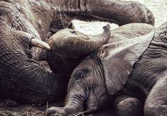 Elephants In The Mud by Adam Rozanski on Elephants, Mud, Photography, Animals, Photograph, Animales, Animaux, Fotografie, Photoshoot