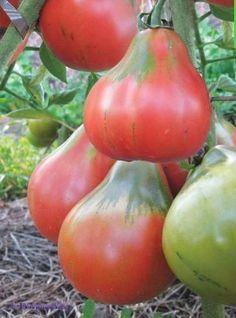 Organic Vegetable Seeds, Organic Vegetables, Fruits And Vegetables, Fruit Plants, Fruit Garden, Fruit Trees, Pruning Raspberries, Weird Fruit, Rainbow Fruit