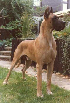 Gelbe Deutsche Dogge Deutsche Dogge Von Yellow Storm Hat Picture Pictures To Pin On Great Dane Dane Dog Beautiful Dogs