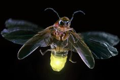 Firefly Facts: Most fireflies can be found east of the Rocky Mountains, from New York to Kansas and Georgia to Texas, and throughout most of the states in between. Florida has the largest firefly population for the most months out of the year because the climate is tropical almost all year long. However, the greatest number and variety of fireflies in the world live in the tropical climates of Central and South America and in tropical parts of Asia. #Firefly #insects #Bugs