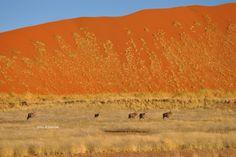Alcuni Orici attraversano le dune