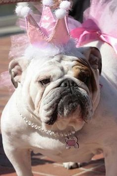 Bulldog Only a bully would look this good in a pink crown