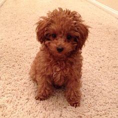 My precious boy Alfie, a red toy poodle