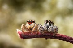 A date in the park - Jumping spiders; Juvenile Habornattus couple enjoying a their 1st date at the park.