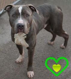 Brooklyn Center PEPPER JACK – A1058074 MALE, GRAY / WHITE, PIT BULL MIX, 2 yrs STRAY – STRAY WAIT, NO HOLD Reason STRAY Intake condition EXAM REQ Intake Date 11/16/2015 http://nycdogs.urgentpodr.org/pepper-jack-a1058074/