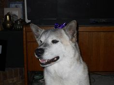My sweet Keira Kay who crossed over the Rainbow Bridge on May 5, 2014.  Our loss is devastating but knowing our girl is out of pain and playing as a young dog again is comforting.  We love you, baby girl ♥