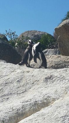 """See 740 photos from 4316 visitors about penguins, pinguins, and cute. """"Want to see the penguins for free? Walk past the main entrance on the wooded. Boulder Beach, Bouldering, Colonial, Animals, Penguins, Animales, Animaux, Animal Memes, Animais"""