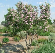 Desert Willow - Species: Chilopsis linearis, Zone: Height: Spread: Light: Sun, Bloom: Pink/Jul-Sep, Utah Native, Notes: Only semi-hardy and may have some die-back during coldest years. Behaves more like a large shrub. Desert Willow Tree, Desert Trees, Willow Leaf, Desert Plants, Garden Shrubs, Landscaping Plants, Landscaping Ideas, High Desert Landscaping, Arizona Landscaping