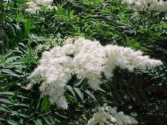 Sorbaria sorbifolia-viitapihlaja-angervo