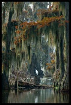Beautiful Lake Martin (Swamp Home - South Louisiana Cajun swamp image featuring a Great Blue Heron in a Bald Cypress forest with Spanish Moss) by Kerry Griechen - My Eye Photography Louisiana Swamp, Louisiana Art, Foto Nature, All Nature, Beautiful World, Beautiful Places, Spanish Moss, Belle Photo, Places To Visit