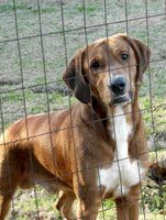"""Bennie is a 2-3 year-old Lab/hound mix with a typical Lab/hound """"airhead"""" personality - loving, agreeable, and the world is a wonder.  He plays with males and females, but will not tolerate being dominated by a male.  Bennie is a big boy, about 66 lb, long-bodied and long-legged. He has not had a lot of socialization, but is slowly learning that every human move toward him is not a reason to duck.  He is interested in retrieving. 2 yrs old; hw -; 66lbs"""