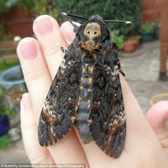 Another species to look out for includes the Death's-head hawkmoth. It has a typical wingspan of The apparent increase in sightings of such moth could reveal important information about the effects of climate change on UK moth populations Alien Creatures, Creatures Of The Night, Uk Moths, Giant Moth, Moth Species, Large Moth, Giant Butterfly, Deaths Head Moth, Giant Animals