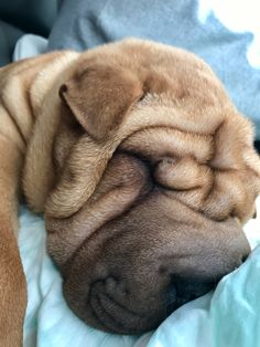Shar Pei Puppies, Cute Puppies, Cute Dogs, Dogs And Puppies, Wrinkly Dog, Baby Animals, Cute Animals, Chinese Dog, Sharpies