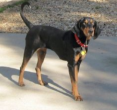 black and tan coonhound | dogs