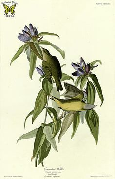 Harvestbells, Gentiana saponaria with Connecticut warbler. Birds of America (double elephant folio edition), Audubon, J.J.,  (1826-1838) [J.J. Audubon]