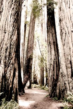 California Redwoods, trees forest