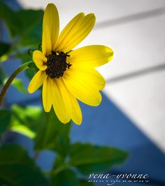 Fine Art Print  flower yellow daisy close up  by photographybyVena, $30.00