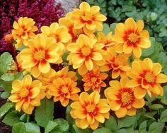 Dahlia Moonfire Beautiful gorgeous pretty flowers