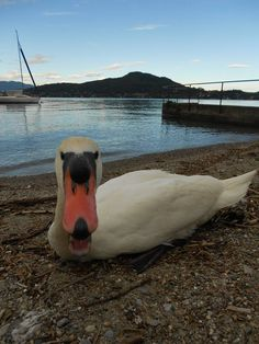 Cigni a #Meina, primissimo piano ( #Novara #Piedmont #Italy ) #swan