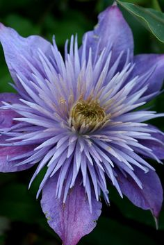 """Clematis """"Crystal Fountain"""""""