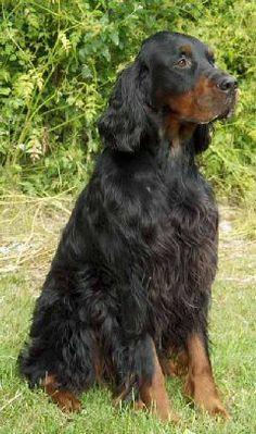 Irish Setter, English Setter, Red And White Setter, Irish English, Gordon Setter, Golden Retrievers, Mans Best Friend, Pet Dogs, Dog Breeds