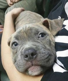 Here's how to tell if your dog trusts you. 5 Signs Your Dog Trusts You With His Life . Pitbull Terrier, Amstaff Terrier, Cute Puppies, Cute Dogs, Dogs And Puppies, Doggies, Baby Activity, Animals And Pets, Funny Animals