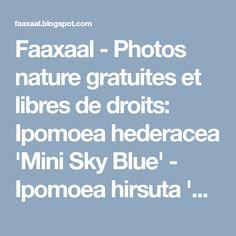 Faaxaal - Photos nature gratuites et libres de droits: Ipomoea hederacea 'Mini Sky Blue' - Ipomoea hirsuta 'Mini Sky Blue' - https://faaxaal.blogspot.com/2018/03/ipomoea-hederacea-mini-sky-blue-ipomoea-hirsuta.html