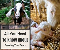 Are you new to goats? Are you heading into your first breeding season? Find out everything you need to know to make it through the breeding season for a healthy pregnancy and kidding Raising Farm Animals, Raising Goats, Raising Chickens, Breeding Goats, Goat Care, Nigerian Dwarf Goats, Baby Goats, Mini Goats, Goat Farming