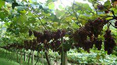 Parreira de uvas