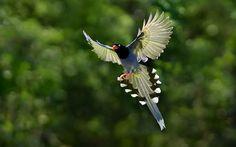 Ultra HD taiwan blue magpie