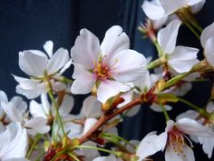 Cherry Blossoms- Photography by Shannon Wagner