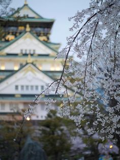 Cherry blossoms, Osaka Castle, Japan