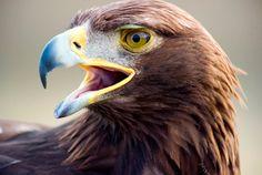 Águila real mexicana
