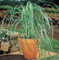 Bravet Fescue Grass Seeds Ornamental Rare Lemon Grass Plant Seeds