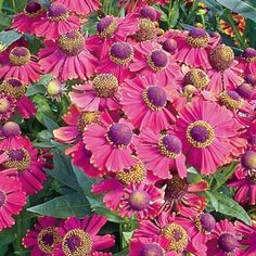 Sun Perennials - Flower Shower Helenium