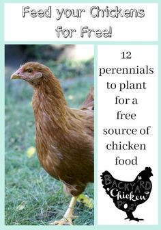 You can drastically cut the cost of chicken feed by planting these 12 perennials for a free source of chicken food!