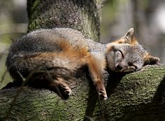 "Fox sleeping. You can see Over 2500 more animal pictures on my Facebook ""Animals Are Awesome"" page. animals, wildlife, pictures, nature, fish, birds, photography, cute, beautiful."