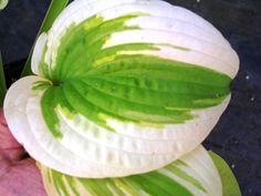 Delta Dawn Hosta - Shade Perennial Sun Tolerant Hosta Plant