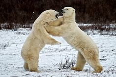 Family Feud ~ Polar Bears Wrestle along the Frozen Hudson Bay - Churchill, Canada.  Prints: $50-$300.  www.HarvGreenberg.com