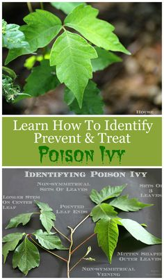 Outdoor Decorating/Gardening : How to identify, avoid, prevent and treat poison ivy. Includes ways to help prevent getting a rash if you come in contact with poison ivy! -Read More – Identify Poison Ivy, Poison Ivy Plants, Poison Ivy Vine, Poison Oak, Poisonous Plants, Deadly Plants, Weed Plants, Edible Plants, Garden Pests