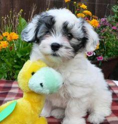 White Havanese Puppy with Best Friend Cuddly Toy