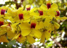 flor de pau-brasil