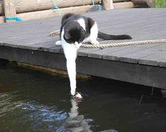 cute tuxedo cat fishing
