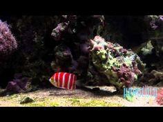 The $30,000 Peppermint Angelfish at Waikiki Aquarium - YouTube