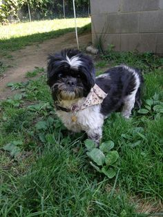 Meet Rosie, a Petfinder adoptable Shih Tzu Dog | Hermitage, PA | I lost my mom recently and I am looking for someone who can take and love me. Make it all right.I...